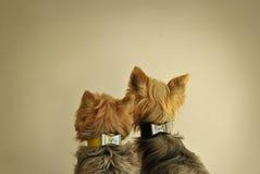 Twee Honden van Yorkshire Royalty-vrije Stock Afbeeldingen