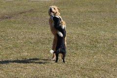 Twee hondenspel en knuffel op het groene gras van het gazon stock fotografie