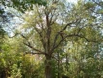 Twee honderd éénjarigen eiken boom Stock Afbeelding