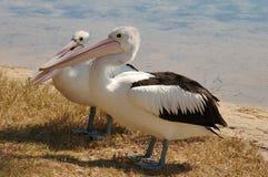 Twee Hongerige Pelikanen stock fotografie