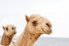 Twee hoofden van kamelen op een oceaan Stock Foto