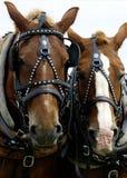 Twee Hoofden van Paarden stock fotografie