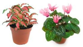 Twee houseplants royalty-vrije stock foto