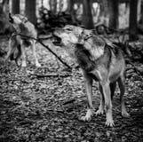 Twee huilende wolven stock afbeelding