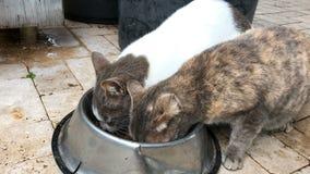 Twee huiskatten die voedsel voor huisdieren van kom delen en camera bekijken stock video