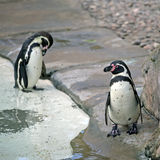 Twee Humboldt Pinguïn Royalty-vrije Stock Fotografie