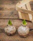 Twee hyacintbollen in mand Royalty-vrije Stock Foto's