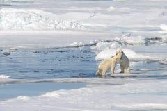 Twee ijsbeerwelpen die samen op het ijs spelen Stock Foto's