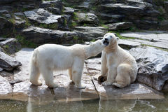 Twee ijsberen Stock Foto