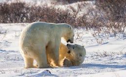Twee ijsberen die met elkaar in de toendra spelen canada stock foto's