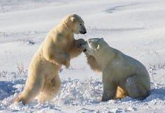 Twee ijsberen die met elkaar in de toendra spelen canada royalty-vrije stock fotografie