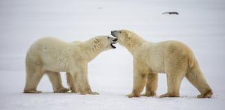 Twee ijsberen die met elkaar in de toendra spelen canada royalty-vrije stock afbeeldingen