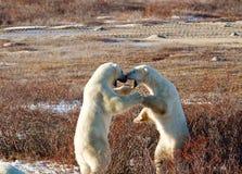 Twee ijsberenneus aan neus stock foto