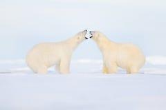 Twee ijsberenstrijd op het ijs Dierlijk gedrag in Noordpoolsvalbard, Noorwegen Ijsbeerconflict met open snuit in Svalbard Co stock foto