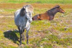 Twee Ijslandse Paarden Royalty-vrije Stock Foto's