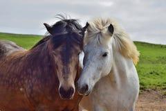 Twee Ijslandse paarden zetten hun hoofden samen in vriendschap stock fotografie