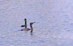 Twee Indische Aalscholvers die in water zwemmen Stock Foto