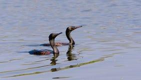 Twee Indische Aalscholvers die in water zwemmen Stock Afbeelding