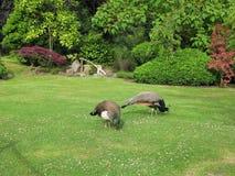 Twee Indische pauwen in de Tuin van Kyoto in het openbare park Holland Park in Londen, het UK stock afbeeldingen