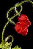 Twee ineengestrengelde papaverbloemen Royalty-vrije Stock Afbeeldingen