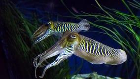 Twee inktvissen die samen hangen stock video