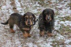 Twee jachthonden op een leiband stock afbeeldingen