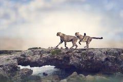 Twee jachtluipaarden Stock Afbeelding