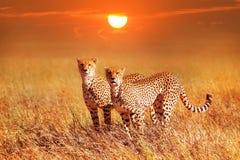 Twee jachtluipaarden in het Nationale Park van Serengeti Synchrone positio Stock Afbeeldingen