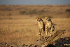 Twee jachtluipaarden het zitten royalty-vrije stock fotografie