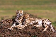 Twee jachtluipaarden let op de savanne Heuvels van Serengeti Royalty-vrije Stock Afbeelding