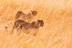 Twee jachtluipaarden in Masai Mara Stock Afbeelding