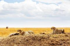 Twee Jachtluipaarden in Masai Mara Africa Royalty-vrije Stock Afbeeldingen