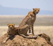 Twee jachtluipaarden op de heuvel in de savanne kenia tanzania afrika Nationaal Park serengeti Maasai Mara Stock Afbeeldingen