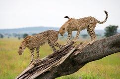 Twee jachtluipaarden op een boom kenia tanzania afrika Nationaal Park serengeti Maasai Mara Stock Afbeeldingen