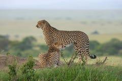 Twee Jachtluipaarden op een onderstel, Maasai Mara, Kenia, Afrika royalty-vrije stock afbeelding