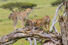 Twee Jachtluipaarden op Gevallen Boom, Masai Mara, Kenia Stock Afbeeldingen