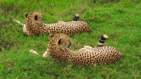 Twee jachtluipaarden van Ndutu stock videobeelden