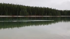 Twee Jack Lake en de gans van Canada stock videobeelden