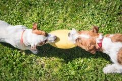 Twee Jack Russell Terrier-zich zij aan zij en honden die bevinden houden Stock Foto's