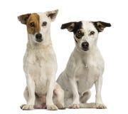 Twee Jack Russell terriers die en de camera zitten bekijken stock afbeelding