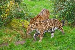 Twee jaguarengang Royalty-vrije Stock Foto's