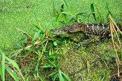 Twee Jonge Alligators stock foto