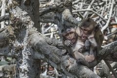 Twee jonge apen die in de mangrove spelen stock afbeeldingen