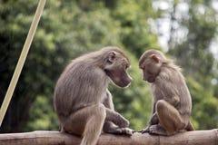 Twee jonge bavianen royalty-vrije stock afbeelding