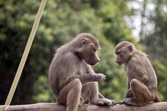 Twee jonge bavianen stock foto's