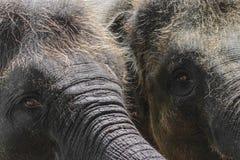 Twee jonge en harige Sumatra-olifanten die iets met boomstammen proberen te bereiken stock afbeeldingen