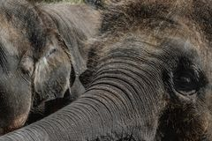 Twee jonge en harige Sumatra-olifanten die iets met boomstammen proberen te bereiken stock foto's