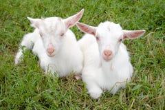 Twee jonge geiten. Stock Foto