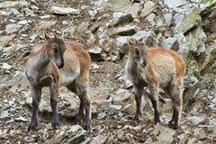 Twee jonge geiten stock afbeeldingen