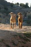 Twee jonge geitjes Stock Afbeeldingen